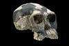 Homo habilis koponyája