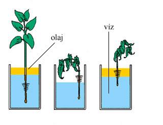 A gyökérszőrök jelentősége a víz felvételében