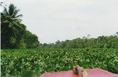 Az Orinoco vizi jácinttal