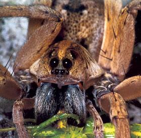 A pókok szájszerve és pontszemei