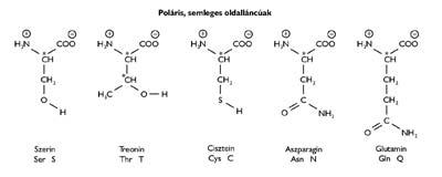A poláris, semleges oldalláncú természetes eredetű aminosavak
