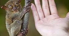 Végveszélyben az emberszabású majmok