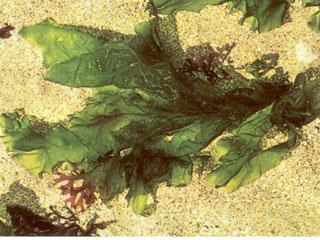 A tengeri saláta