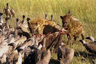 A hiénák az oroszlánok zsákmányának maradékával táplálkoznak