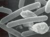 Pálcika alakú baktériumsejtek