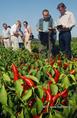 Rezisztencia gén a paprika termesztésben